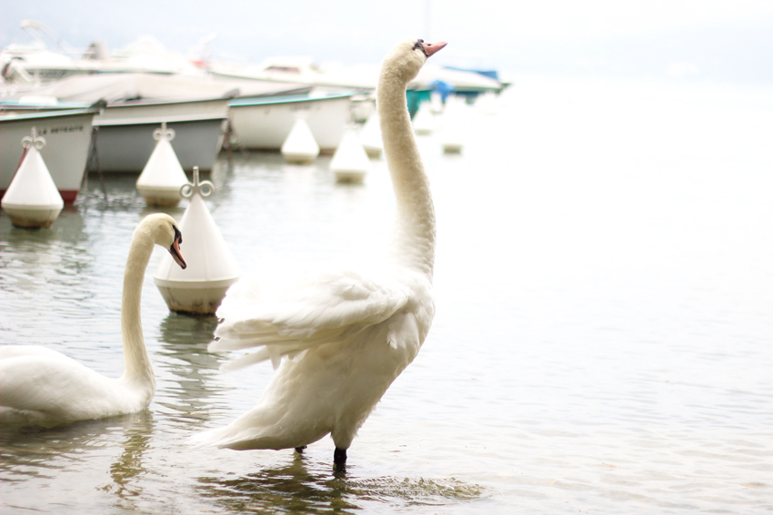 Cygne lac annecy