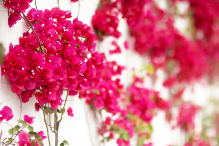 fleurs grimpantes