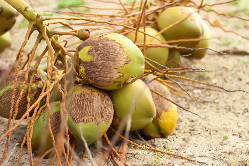 noix de coco fraiches Martinique