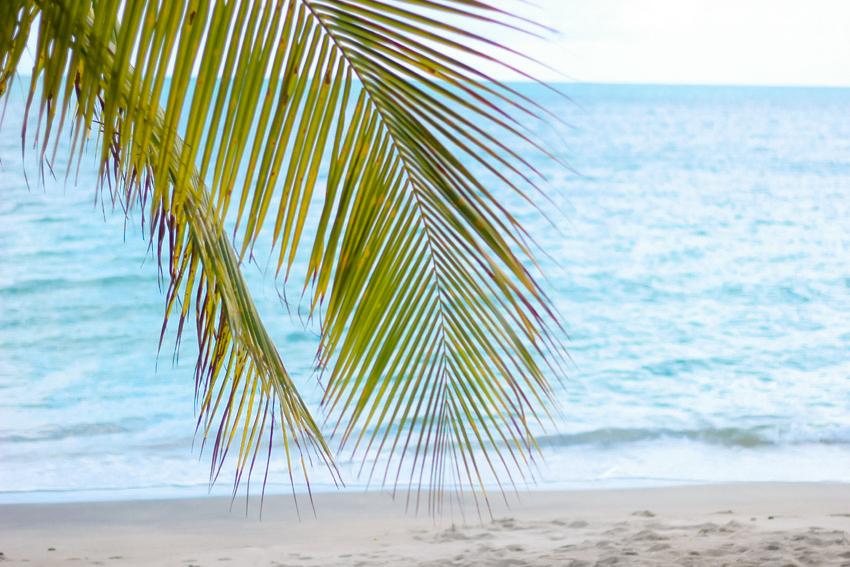 palmier mer des caraibes Martinique
