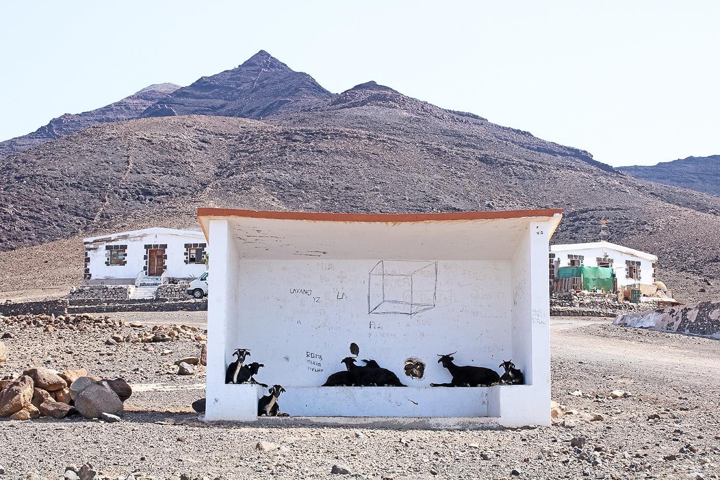 chèvres-sauvages-fuerteventura