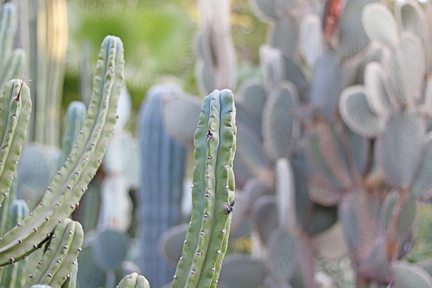 cactus-le-jardin-majorelle-marrackech